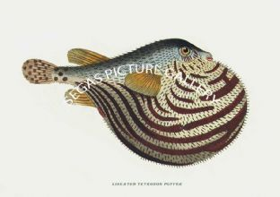 Puffer, Lineated Tetrodon
